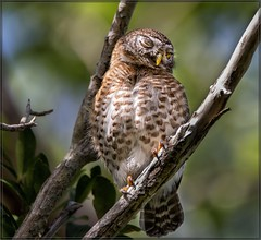 4226- The Shy and Blushing Cuban Pygmy Owl (canuckguyinadarkroom) Tags: owl pygmy cuba nature cute beauty