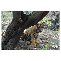Bengal Tiger Cub, son of Noor, Ranthambhore National Park, Rajasthan, India (Monica Max West) Tags: india indianwildlife wildlife nature wildlifephotography wild tiger bengaltiger monkey primate bigcat endangered