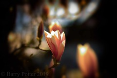 The light within (Barry Potter (EdenMedia)) Tags: barrypotter edenmedia nikon d7200 magnolia flower