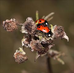 Ladybird (DebbieH82) Tags: 200319messingham canon5dmkiv 100mmmacrolens ladybird