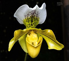 Orchid Yellow & White. (rumerbob) Tags: orchidyellow orchidwhite orchid flower floral flowergarden fauna flowerphoto macro macroflower macrophotography botany botanicalgardens botanical nature naturewatcher naturephotography longwoodgardens canon7dmarkii canon100mmmacrolens