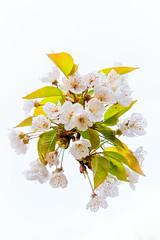 Blossom (Jez22) Tags: cherry blossom prunusavium nature flower spring floral bloom beautiful flora fresh april outdoor springtime blooming flowers blossoms copyright jeremysage kent england