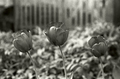 Tulips (neoalism) Tags: blackandwhitefilm blackandwhite filmphotography 35mmfilm springinnewengland filmslr canonfdcamera canonfdlens canonfd canonftb canon35mm newengland agfafilm agfaphotofilm apx400 agfaphotoapx400 expiredfilm agfablackandwhitefilm agfaphotoblackandwhitefilm tulips ilfordmicrophen ilfordchemistry microphen