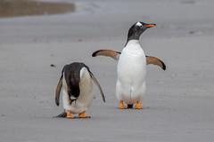 It was him - honest! (Linda Martin Photography) Tags: gentoopenguin saundersisland southatlanticocean nature bird penguin falklandislands pygoscelispapua wildlife naturethroughthelens coth coth5