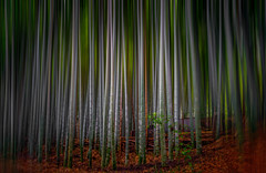 Bamboo forest-Kyoto. (axlrose2112) Tags: pentaxart japan travel forest nature beautiful color escape