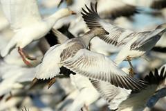 Chen caerulescens (Snow Goose) - Fir Island, WA (Nick Dean1) Tags: chencaerulescens goose snowgoose anatidae anseriformes animalia chordata aves firisland skagitcounty skagitvalley thewonderfulworldofbirds birdperfect birdwatcher