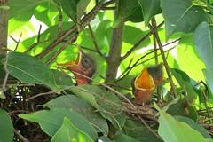 010 Baby birds in nest Greensboro, NC (cshoemaker) Tags: birds nest greensboro canon outdoors nature