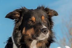 Yatzy (Flemming Andersen) Tags: dog portrait yatzy bordercollie animal sucháhora žilinaregion slovakia sk