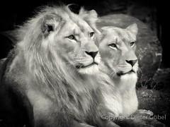 Löwen-Paar