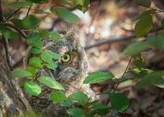 The Eye (Mark Polson) Tags: mn plymouth animal bird greathorned owlet hiding yellow