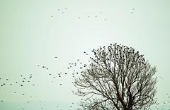 Home to roost (Wildlife Online) Tags: europeanstarling starling sturnusvulgaris bird animal wildlife ukwildlife starlingflock murmuration britishwildlife countryside starlingsintree marcbaldwin wildlifeonline
