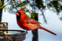 Soulful in Red (114berg) Tags: 18february19 male northern cardinals basket feeder sunny day geneseo illinois