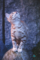 Wow, it's full Moon (Andreas Krappweis - thanks for 3 million views!) Tags: bengal kitten snow white bengals blue night moon watching evening light bengalcat purebreed outdoor domesticcat attentive portrait fullmoon fun funny nikonafs200400