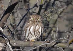 Ferruginous Pygmy-Owl (Christopher Lindsey) Tags: ferruginouspygmyowl birds birding arizona