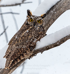 A Winter's Rest Area (TNWA Photography (Debbie Tubridy)) Tags: greathornedowl owl winter bird birdofprey raptor snow cold hunting nature wildlife natural habitat behavior environment wild rural wilderness colorado debbietubridy tnwaphotography