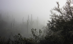 Saguaro Ghost Forest (Buck--Fever) Tags: saguaros fog arizona arizonadesert gilariverarizona weather landscape nature outdoors centralarizona arizonaoutdoors earthnaturelife