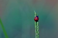 Transverse Ladybird (Coccinella Transversalis) (natureloving) Tags: transverseladybird coccinellatransversalis asianladybug asianladybird indianladybird nature macro insect beetle natureloving nikon d90 afsvrmicronikkor105mmf28gifed animalplanet