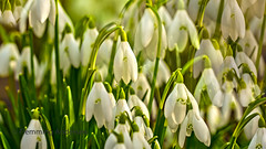 snowdrops (Flemming Andersen) Tags: flower snowdrops outdoor green white jelling regionofsoutherndenmark denmark dk