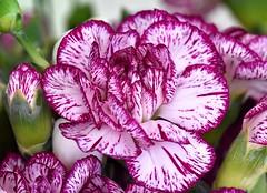 Carnation (rustyruth1959) Tags: bud greenery stems nature bunch petals flower white purple carnation flowers indoor ripponden yorkshire england uk sigma105mm nikond5600 nikon macro alamy dianthus dios anthos takeaim
