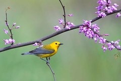Prothonotary Warbler on Redbud - Ohio (www.studebakerstudio.com) Tags: prothonotary warbler redbud ohio songbird bird flowers spring yellow lakehope