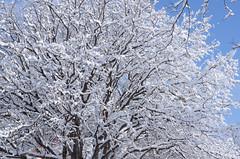 Snow covered tree (Rivers, Lakes, Nature & Architecture) Tags: snow tree winter sky minneapolis minnesota loringpark snowfall nikon nikkor50mm18