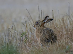DSC8400  Brown Hare... (Jeff Lack Wildlife&Nature) Tags: hare hares brownhare animal animals wildlife woodlands wildlifephotography jefflackphotography heathland hedgerows heathlands heaths farmland fields glades grasslands moorland meadows moors countryside norfolk nature