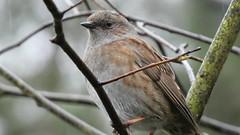 Dunnock (Deanne Wildsmith) Tags: bird dunnock centreparcs nottingham earthnaturelife