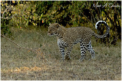 Queen Kaboso on the Prowl! (MAC's Wild Pixels) Tags: queenkabosoontheprowl kaboso leopard femaleleopard pantherapardus animal mammal wildlife carnivore predator hunter africanwildlife wildafrica wildanimal wildcats wildlifephotography wildpussy safari gamedrive outdoors outofafrica sunrise goldenhour goldenlight goldenpussy nature naturephotography spottedfeline spottedbeauty spottedpussy masaimara maasaimaragamereserve kenya macswildpixels natureinfocusgroup coth5 ngc
