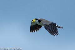 Masked Lapwing (stanley.ashbourne) Tags: australia holiday brisbane nature wildlife maskedlapwing bird stanashbourne