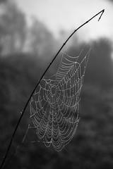 Cold and wet / kalt und nass (carsten.k.) Tags: drops wassertropfen wasser morning morgen ausen drausen spinne spider spiderweb spinnennetz blackandwhite schwarzweis