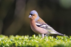 chaffinch (Paul Wrights Reserved) Tags: bird birding birds birdphotography birdwatching chaffinch chaffinches finch finches