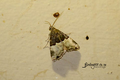 Ozarba ssp, Satara, Kruger National Park, Jan 2019 (roelofvdb) Tags: 2019 date january knp moth mothsofsafrica ozarbassp place satara year