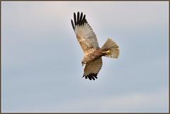 Marsh Harrier (image 2 of 3) (Full Moon Images) Tags: woodwalton fen greatfen bcn wildlife trust nnr national nature reserve cambridgeshire bird birdofprey flight flying male marsh harrier