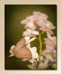 ready for take off ... (1 von 1) (aschnirch) Tags: schmetterling deutschland park insekte butterfly outdoor garten nature natur flower fauna tagfalter falter