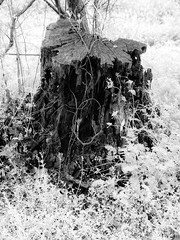 """Remains of a Tree <a style=""""margin-left:10px; font-size:0.8em;"""" href=""""http://www.flickr.com/photos/53867600@N00/33705360948/"""" target=""""_blank"""">@flickr</a>"""