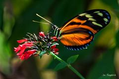 _MG_3330.jpg (Joe Fitzpatrick Photo) Tags: fauna butterflies butterflyworld