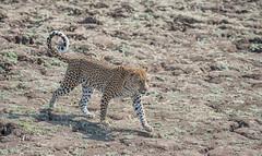 Lithe (Tris Enticknap) Tags: africa zambia cat southluangwa africanleopard leopard pantherapardus pantheraparduspardus