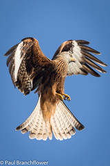 Red Kite (pjbranchflower) Tags: red kite llanddeusant brecon beacons raptor wales canon 5d mk iv 100400