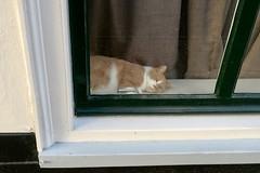 Cat (Michiel2005) Tags: leiden nederland netherlands holland cat poes kat dier animal raam slapen sleep