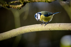 Blue tit. (vickyouten) Tags: bluetit nature naturephotography wildlife britishwildlife wildlifephotography nikon nikond7200 nikonphotography sigma sigma150600mmc penningtonflash leigh uk vickyouten