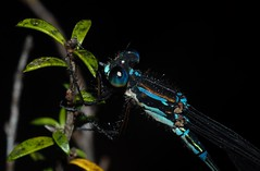 Blue damselfly (Awarua) (ROCKnVOLE Photography) Tags: awarua seaward moss southland nz invertebrate damselfly blue dragonfly