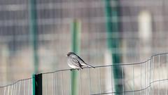 Dark-eyed Junco (Junco Hyemalis) (Accipiter22) Tags: birds juncohyemalis wildlife animalphotography birdwatching birding darkeyedjunco nature natureshots outdoors rockmeadow belmont animals