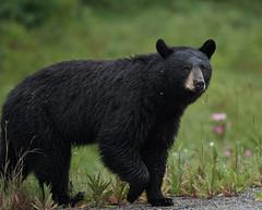 Black bear mother Thompson Creek 2018_651 (Archie Richardson) Tags: blackbear thompsoncreek alberta 2018