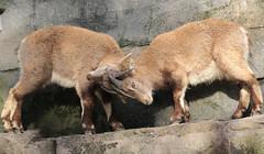 alpine ibex Artis 094A0737 (j.a.kok) Tags: animal artis alpensteenbok alpineibex europe europa steenbok ibex mammal zoogdier dier