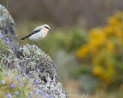DSC_9443 (nigelsnell) Tags: ballymacormickpoint countydown groomsport northernireland wheatearnorthernoeantheoeanthe bird birds