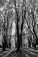 sunny beech trees (Francis Mansell) Tags: tree plant beech forest backlit monochrome blackwhite niksilverefexpro2 fagussylvatica pollarded eppingforest