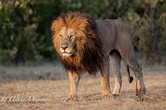Lion (mayekarulhas) Tags: narok riftvalleyprovince kenya ke lion wildlife wild masaimara safari canon canon500mm canon1dxmark2 carnivores