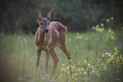 Chevrette normande (Richard Holding) Tags: animal chevreuil deer eure m43 nature normandie normandy olympus omd wild wildlife