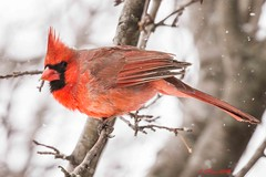IMG_4927 male red cardinal (starc283) Tags: starc283 wildlife canon 7d flickr flicker winter nature natures finest watcher outdoors outdoor cardinal red male bird tree