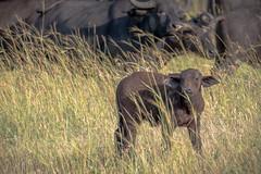 Cape Buffalo Calf (helenehoffman) Tags: africa synceruscaffer kenya conservationstatusleastconcern bovidae capebuffalo africanbuffalo mammal maasaimaranationalreserve animal